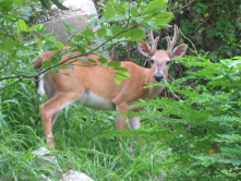 young buck on Upper Sugarloaf Key