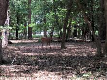 Deer in Central Park on July 13, 2018